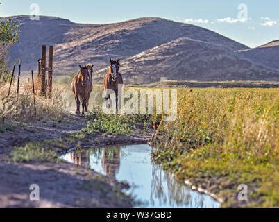 Wild Mustang horses in Northern Nevada. - Stock Photo