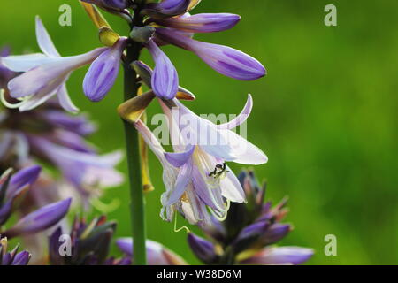 Blooming hosta flower in summer garden. Beautiful purple flowers of Hosta Lancifolia on green background - Stock Photo