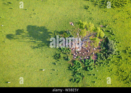 Top down drone view onto fresh green field with sheep gathered under old tree at sunrise. Shropshire in United Kingdom - Stock Photo