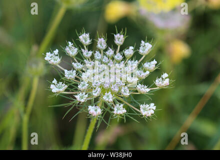 close up of Daucus carota, whose common names include wild carrot, bird's nest, bishop's lace, and Queen Anne's lace - Stock Photo
