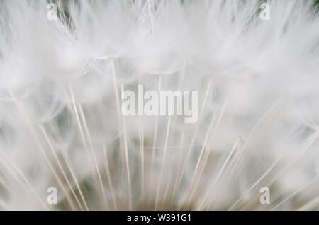 Taraxacum officinale, Crepidinae, Asteraceae, macro photograph of a dandelion flower with focus on the seeds - Stock Photo