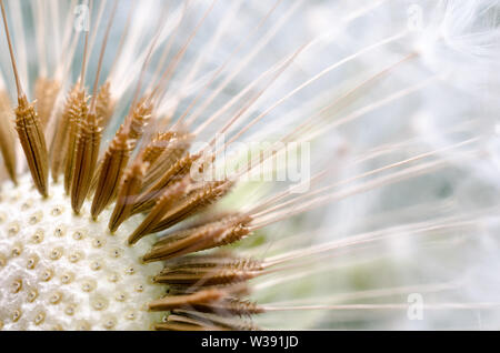 Taraxacum officinale, Crepidinae, Asteraceae, macro photograph of a dandelion flower with focus on the seeds - Stock Photo