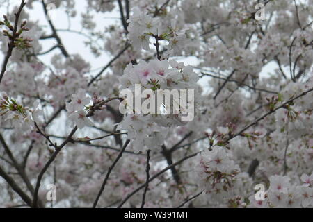 Full Bloomed Cherry Blossoms in Dallas Arboretum and Botanical Garden - Stock Photo