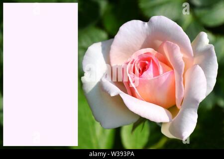 Greeting card with pink rose image on the right side on green background and pink frame for writing. - Stock Photo