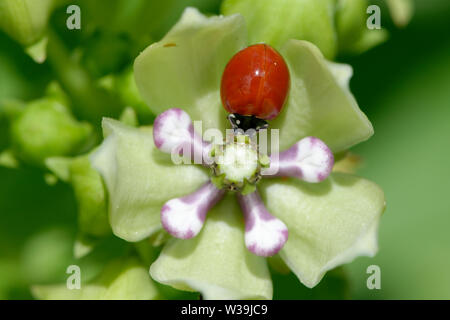 Green Milkweed with Cycloneda munda - Polished Lady Beetle - Stock Photo