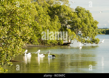 Pelicans and Seagulls on Caboolture River at Beachmere Queensland Australia. - Stock Photo