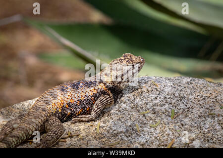 A Desert spiny lizard warms itself in the morning sun. Phoenix Desert Botanical Garden, Arizona, USA. - Stock Photo