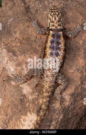 A Desert spiny lizard warms itself in the morning sun. Phoenix Desert Botanical Garden, Arizona, USA. - Stock Photo