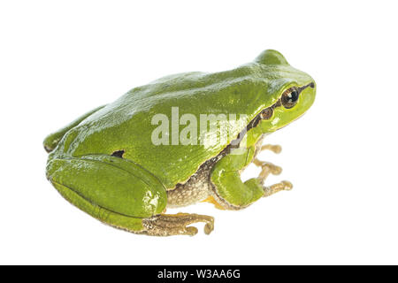 European tree frog (Hyla arborea) isolated on white background sitting - side view - Stock Photo