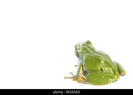 European tree frog (Hyla arborea) - looking at the white background - Stock Photo