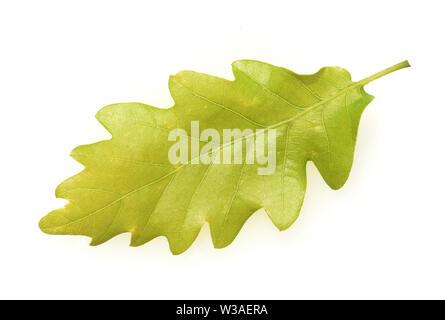 Eichenblatt, Eichen, Quercus, Robur - Stock Photo