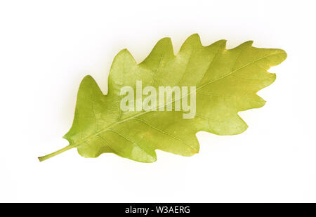 Eichenblatt, Eichen, Quercus, Robur - Stock Photo