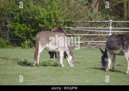Three domestic donkeys grazing on a green field - Stock Photo