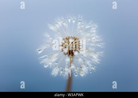 Delicate and beautiful dandelion seed head with rain drops against the blue sea, macro photograph. - Stock Photo