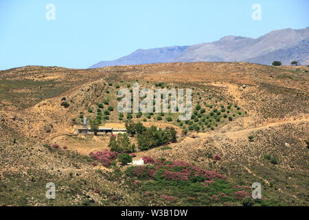 Olive plantations in Crete, Greece in Europe - Stock Photo