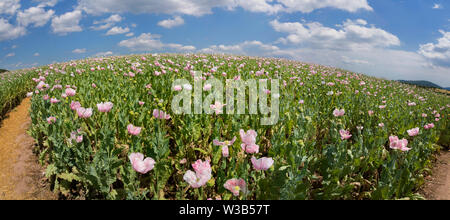 Opium poppy field, Germerode, Werra-Meissner district, Hesse, Germany - Stock Photo
