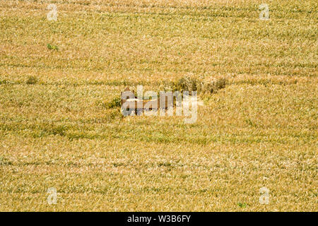 Bed in a grainfield, Germerode, Werra-Meissner district, Hesse, Germany - Stock Photo