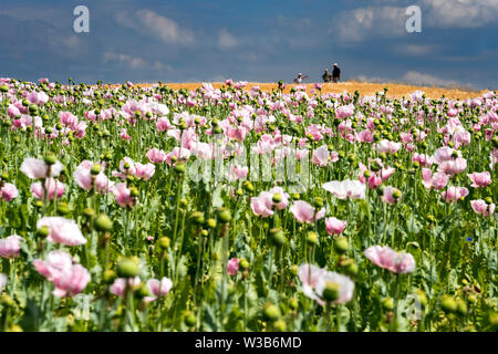 Opium poppy field, Germerode, Werra-Meissner district, Hesse, Germany - Stock Photo