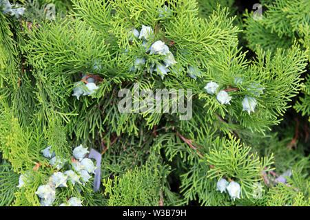 Cupressus leylandii or Leylan cypress fruits close up - Stock Photo