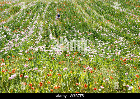 Opium poppy and red poppies field, Germerode, Werra-Meissner district, Hesse, Germany - Stock Photo