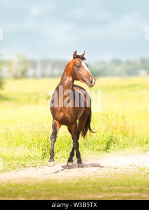 Bay Akhal-Teke horse runs on the green field background - Stock Photo