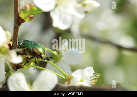 Green beetle, rose chafer, Cetonia aurata on white flowers - Stock Photo