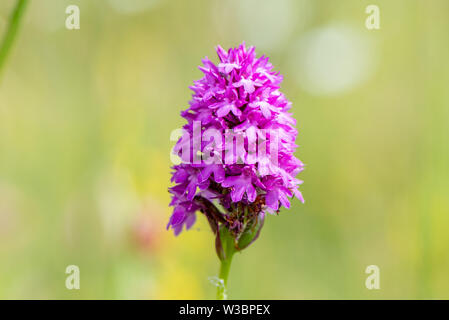 A pyramidal orchid at Noar Hill, near Selborne, Hampshire, UK - Stock Photo