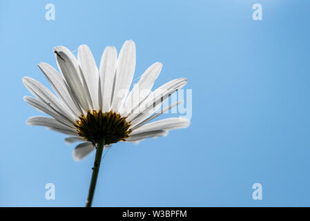 Oxeye daisy against a blue sky, Noar Hill nature reserve, near Selborne, Hampshire, UK - Stock Photo