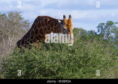 South African giraffe (Giraffa camelopardalis giraffa), adult, feeding on leaves and thorns of a spiny shrub,Kruger National Park,South Africa, Africa - Stock Photo