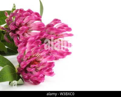 Pink Clover flowers (Trifolium) isolated on white background - Stock Photo