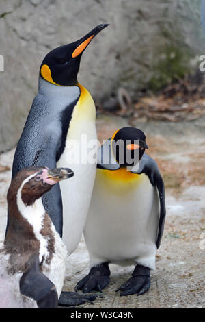 King Penguins with a humboldt penguin, in the Penguin Enclosure at Birdland Park and Gardens in Bourton-on-the-Water, Gloucestershire, UK