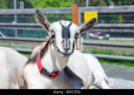 Adorable baby goats portrait taken at Victoria's Beacon Hill Park in Vancouver Island, Canada - Stock Photo