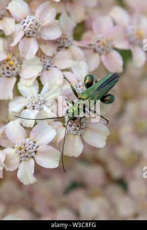 Thick-legged flower beetle (Oedemera nobilis),  also known as the swollen-thighed beetle and the false oil beetle, on Achillea millefollium - Stock Photo