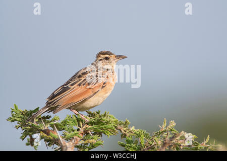 Rufous-naped lark (Mirafra africana) perched on top of a bush - Stock Photo