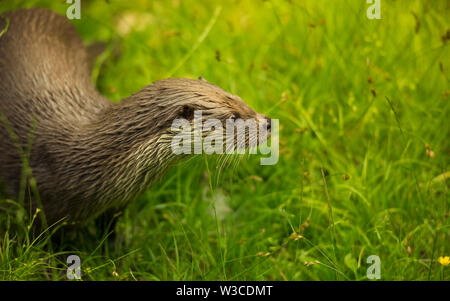 Lovely Eurasian otter (Lutra lutra) sitting on the wet fresh grass near stream river and looking back. - Stock Photo
