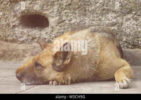 Portrait of a German shepherd dog relaxing on the stone floor near the old building, warm spring day, lazy mood of the animal - Stock Photo