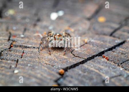 beautiful macro photo of a small jumping spider - Stock Photo