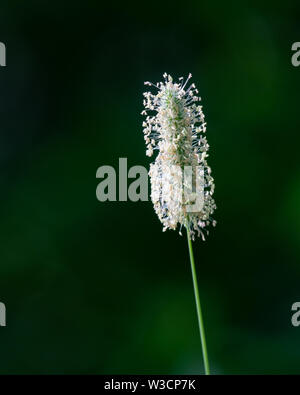 Wild grass seed head in a clearing in the Adirondack Mountains, NY USA wilderness, isolated against a dark shadow background. - Stock Photo