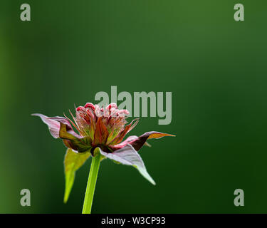 A Monarda flower opening up in a garden in Speculator, NY USA with a deep green shadow background. - Stock Photo