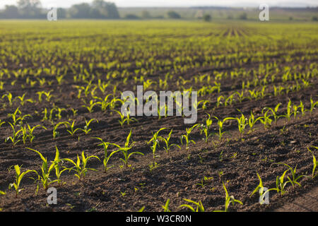 Backlit young maize seedling (Zea mays) growing on corn field in spring. Beautiful agricultural countryside during sunrise golden hour. Saplings - Stock Photo
