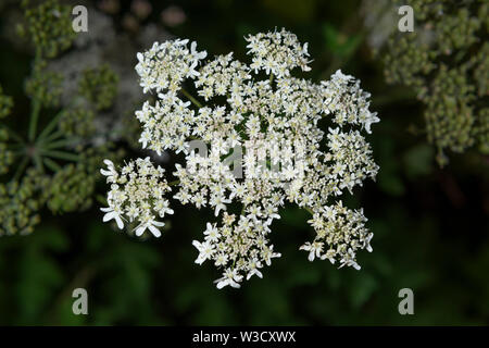 The invasive plant specifies Giant Hogweed (Heracleum mantegazzianum) growing in the UK. - Stock Photo