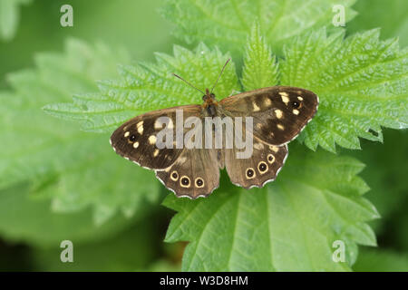 A beautiful Speckled Wood Butterfly, Pararge aegeria, opening up its wings perched on a stinging Nettle leaf. - Stock Photo