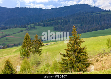 On the tops of the Carpathian hills, lonely pines grow and herds of sheep graze on green pastures in the middle of coniferous forests. - Stock Photo