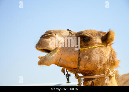 A Camel face from close up during the daytime in the desert of Oman facing towards the sky. - Stock Photo