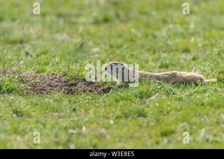 European ground squirrel, Souslik (Spermophilus citellus) natural environment - Stock Photo