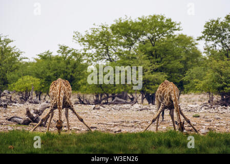 Two giraffes drink water from a waterhole in Etosha National Park, Namibia. - Stock Photo
