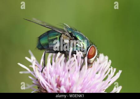 Green Bottle Fly Lucilia sericata - Stock Photo