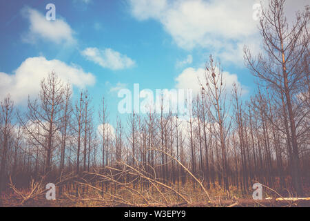 Ecological problem, dead trees. Dry pine trees against blue cloudy sky - Stock Photo
