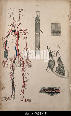 Blood-vessels and their role in circulation of blood. Coloured lithograph by William Fairland, 1837. - Stock Photo
