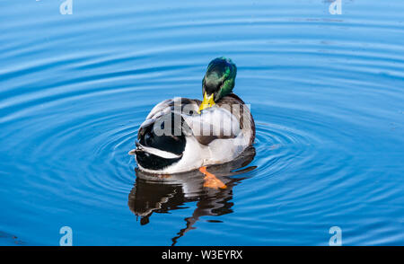 Colourful male Mallard duck, Anas platyrhynchos, preening feathers in water ripple in sunshine - Stock Photo